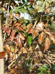 シマトネリコの葉(冬季)