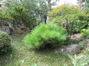 庭の黒松!手入れ前です。ボサボサ(^^;