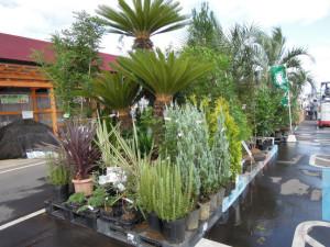 店頭に並べた植木の一部です☆