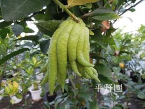 仏手柑の果実です!足~