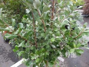 葉っぱが丸くてかわいい植木です(#^.^#)